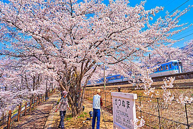 甚六桜と電車のコラボを、旧勝沼駅跡で撮影しよう!