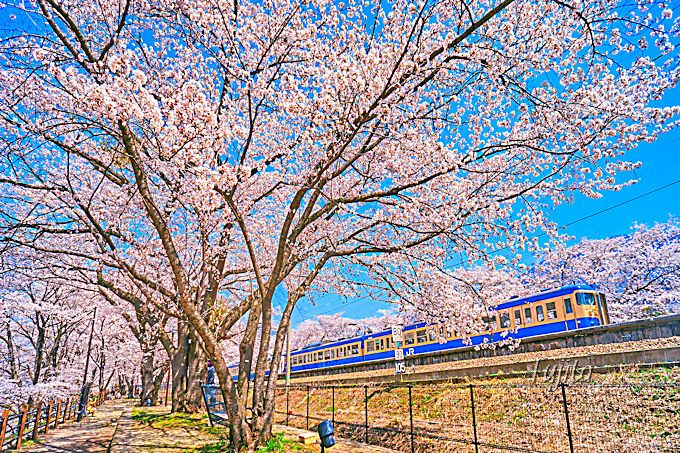 三列の甚六桜と電車の絶景コラボ!