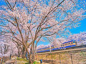 桜と電車の絶景コラボ!山梨・勝沼ぶどう郷駅の花見名所「甚六桜」