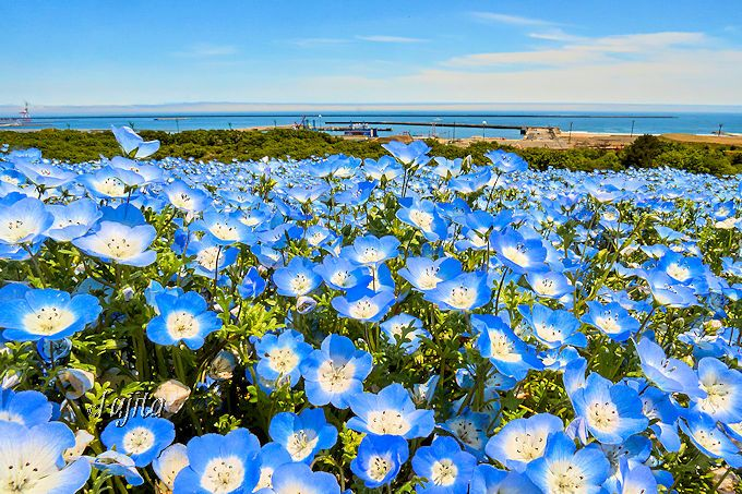 空と海とネモフィラのハーモニー!ひたち海浜公園