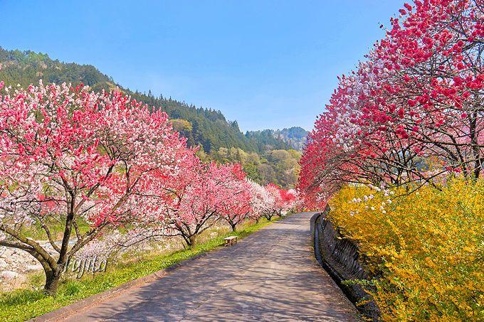 花桃まつり最大の見所!月川温泉「野熊の庄 月川」