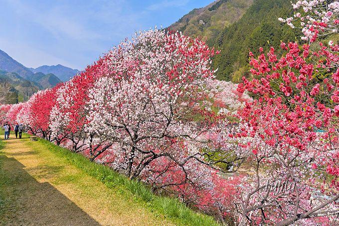 客室前の花桃が絶景!月川温泉「野熊の庄 月川」