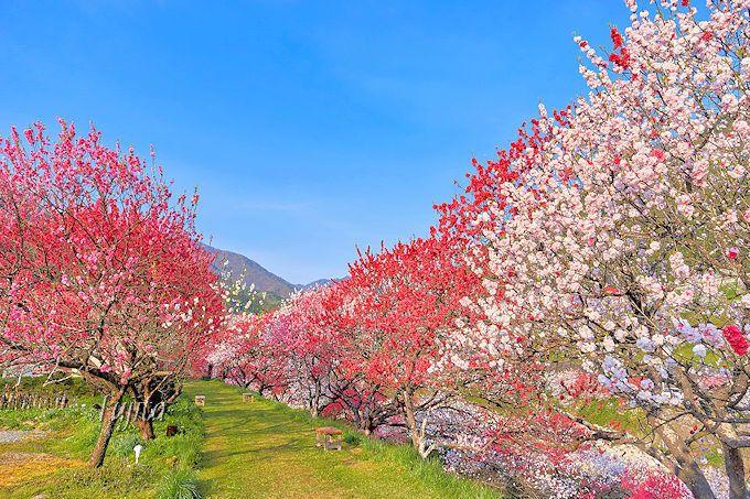 宿周辺の花桃が絶景!月川温泉「野熊の庄 月川」