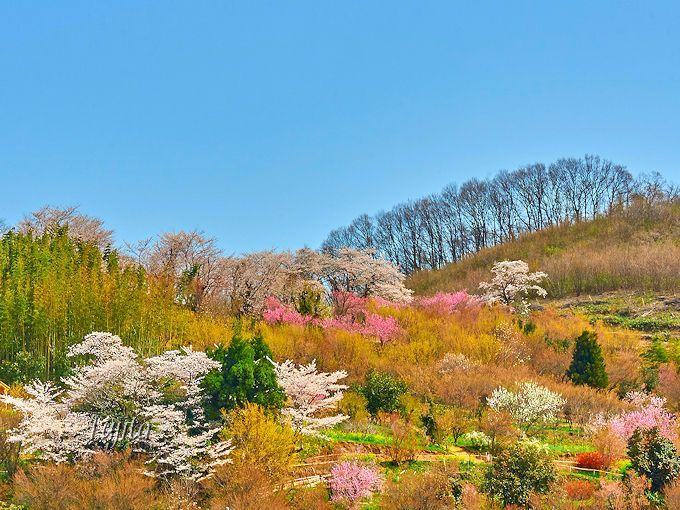 花見山公園の桜は、シャトルバスで!