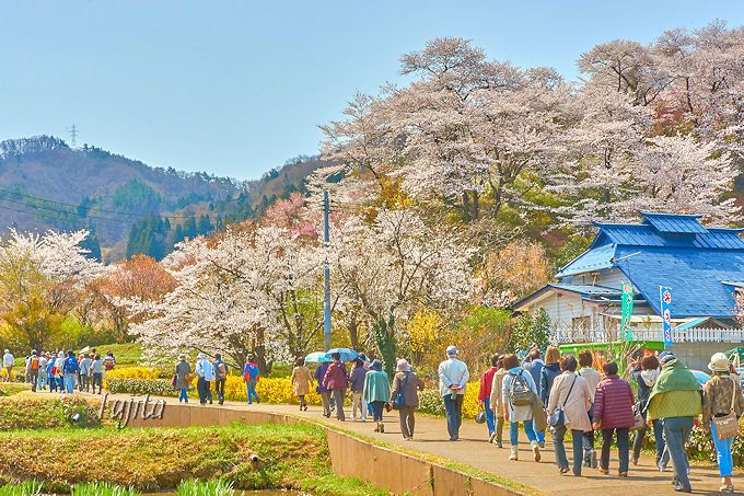花見山の桜は、公園手前も絶景!