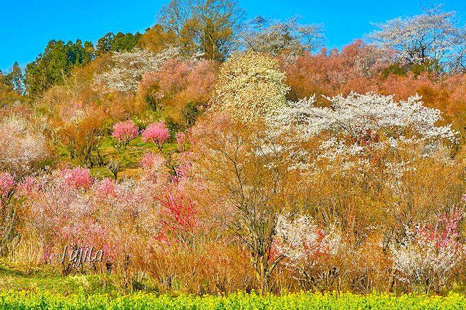 見頃時期も、桜の満開「手前」がベスト!