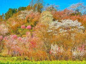 花見山公園の桜5選!福島の桃源郷・おすすめ花見コースと撮影ポイント