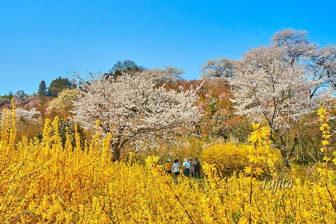 実は「手前」のエリアこそ絶景!花見山公園