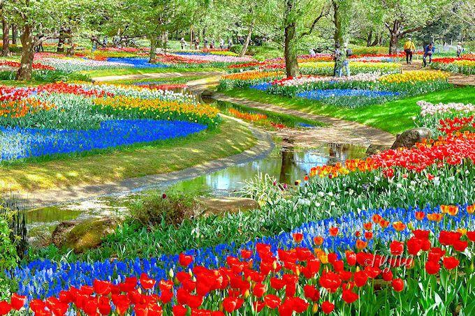 まさにオランダの絶景そのまま!昭和記念公園のチューリップ