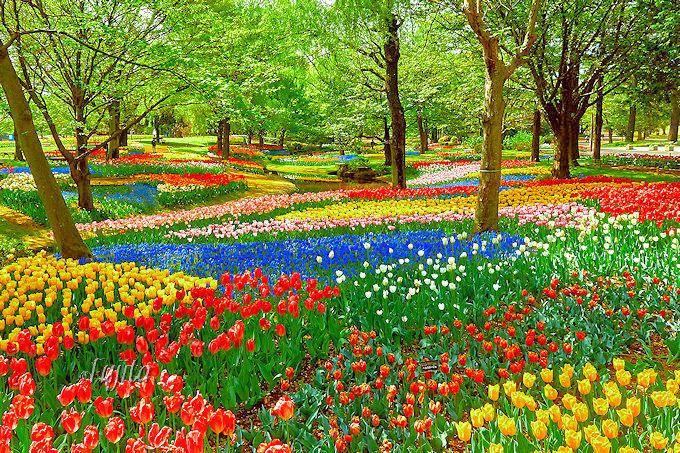 渓流広場上流がベスト!昭和記念公園のチューリップ