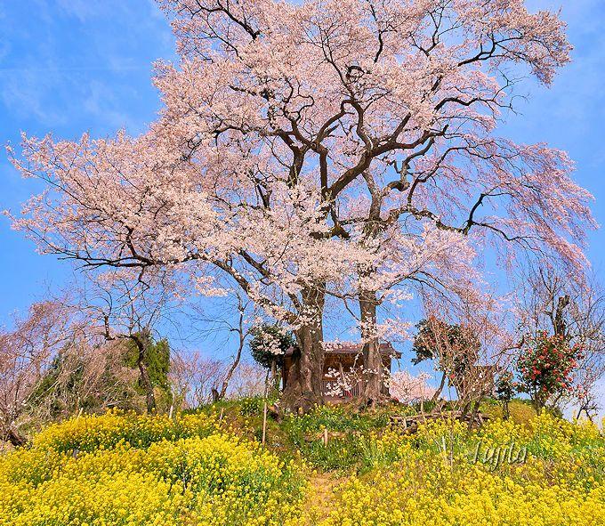 桜と菜の花のコラボが絶景!天神夫婦桜(郡山市)