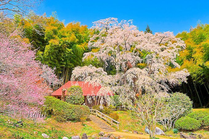 一本桜と梅と竹林のコラボが絵画のよう!雪村桜(郡山市)