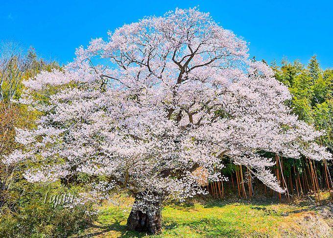 リピーターにおすすめ!南成田の大桜(三春町)