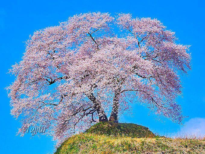 まるで福島の「わに塚の桜」!平堂壇の桜(三春町)