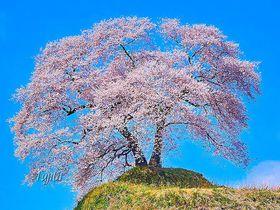 福島・あぶくま桜回廊の絶景花見名所5選!三春滝桜と併せて見たい一本桜