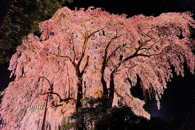 忘れ得ぬ思い出の一本桜!