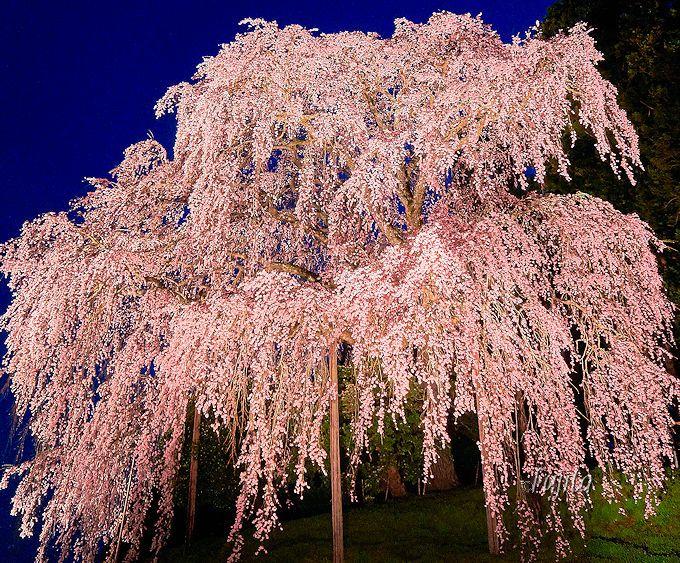 温かい気持ちになる!夜桜ライトアップ