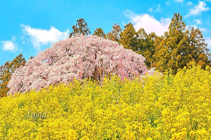 福島県日本松市、合戦場のしだれ桜と菜の花の絶景