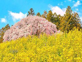 合戦場のしだれ桜は、三春滝桜に匹敵する一本桜!
