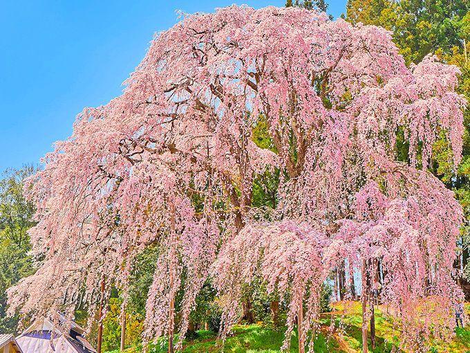 合戦場のしだれ桜は、三春滝桜と遜色ない絶景!