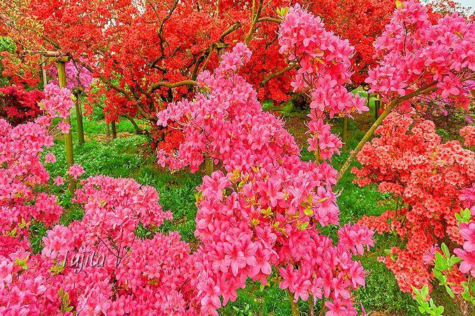 色も形も多様なヤマツツジの絶景!館林つつじ祭り