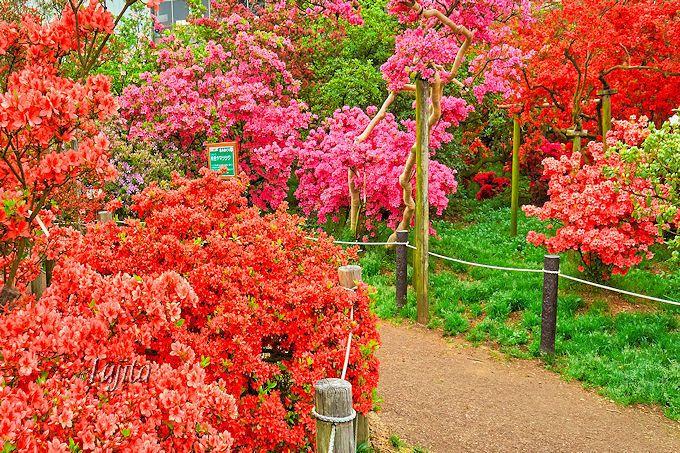 館林つつじ祭りでは、名木を示す「緑色の看板」に注目!