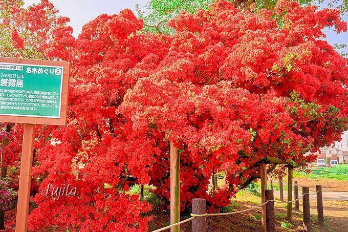 GWが見頃の蓑霧島は見事な咲きっぷり!館林つつじ祭り