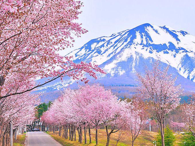 岩木山総合公園付近の桜が一番の見所!