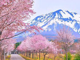 総延長20km!青森「世界一の桜並木」と岩木山の絶景コラボ