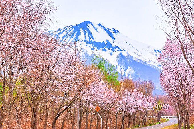 岩木山と桜並木のコラボが絶景!