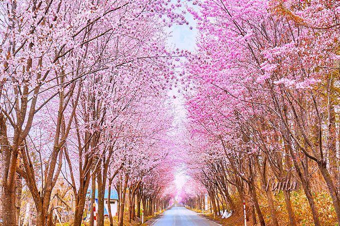 「世界一長い桜並木」は何処までも続く!
