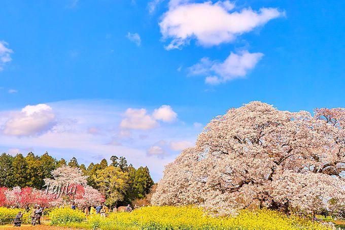 穴場の絶景!千葉県印西市「吉高の大桜」と「小林牧場の桜」