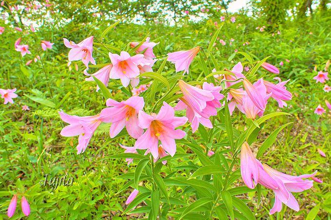 ピンク色が美しい!ヒメサユリは可憐な花