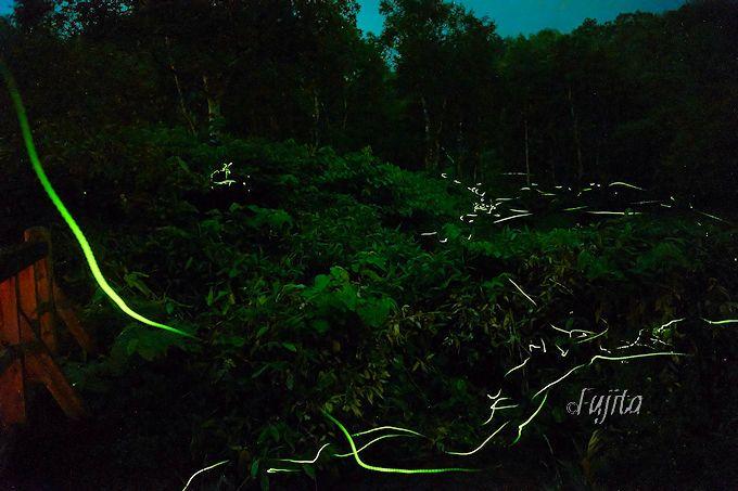 4つの日本一を持つホタルの乱舞!志賀高原・石の湯ロッジのゲンジボタルが凄い!