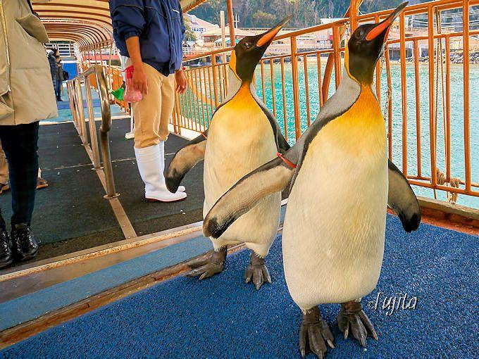 オウサマペンギンのお散歩に、いきなり胸キュン!