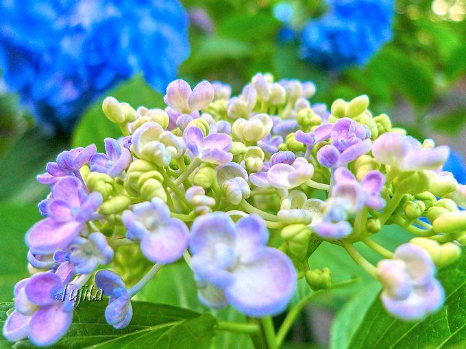 渦紫陽花も魅力的!