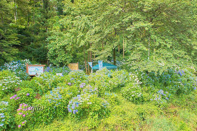 小野池あじさい公園は、花の時期には素通り出来ない素晴らしさ!