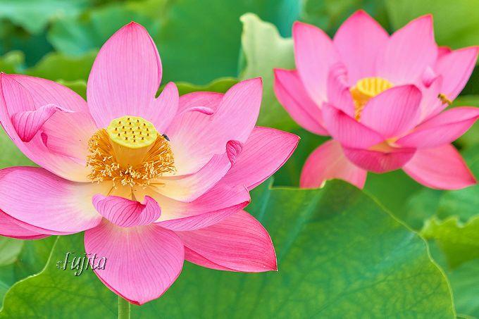 行田蓮は7月上中旬が最盛期ですが、お早めに!