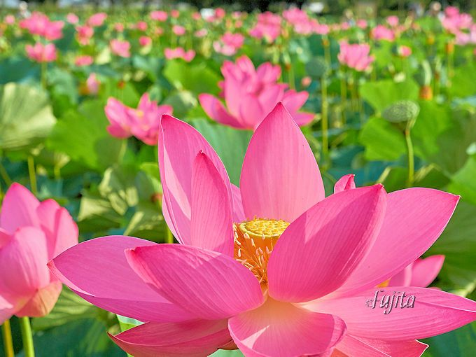 行田「古代蓮の里」は早朝がおすすめ!神秘的で美しいハスの名所