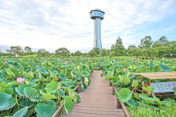 「古代蓮の里」では、行田蓮の池に直行しよう!