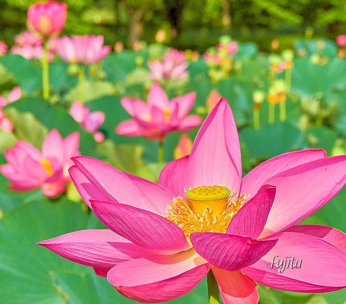 行田蓮は午前中だけ咲いています!