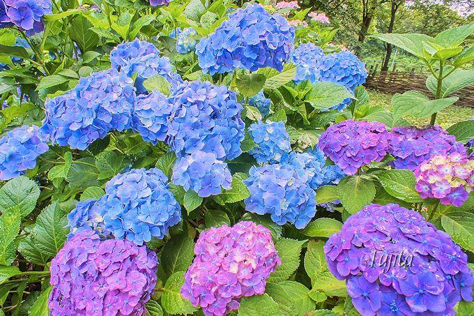 県立北総花の丘公園は紫陽花やバラが見頃!