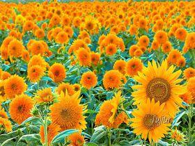 茨城「明野ひまわりフェスティバル」が凄い!八重ひまわり日本一100万本の名所