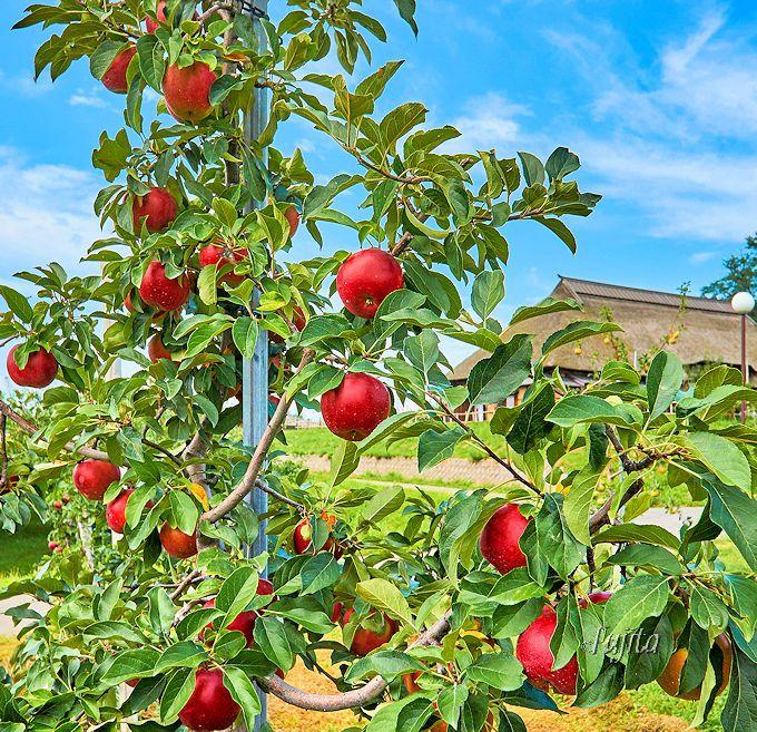 弘前市りんご公園で本場青森のりんご狩り!市営で気軽に利用可能