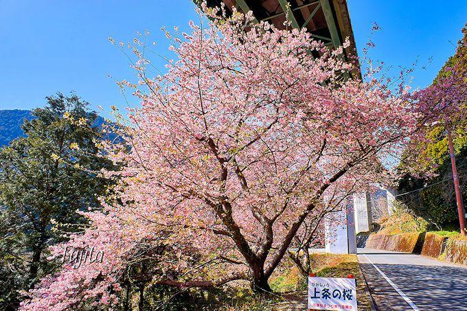 ループ橋も吹き飛ばす絶景?「上条の桜」は下車して至近距離で堪能しよう!