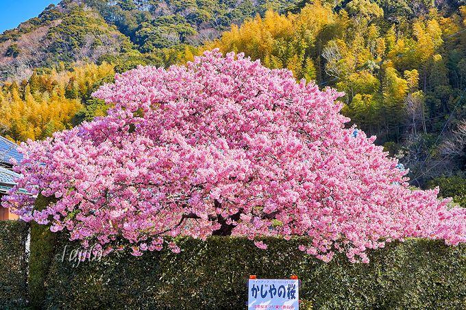 まさに横綱級の絶景!河津桜を代表する「かじやの桜」は必見