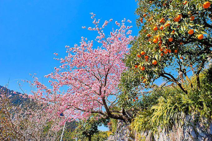 桜がみかんとコラボ?「大宮瀬の桜」は周辺の景観まで鑑賞しよう!