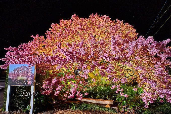 「かじやの桜」は夜桜も必見!河津桜の名木ライトアップは手作り感満載