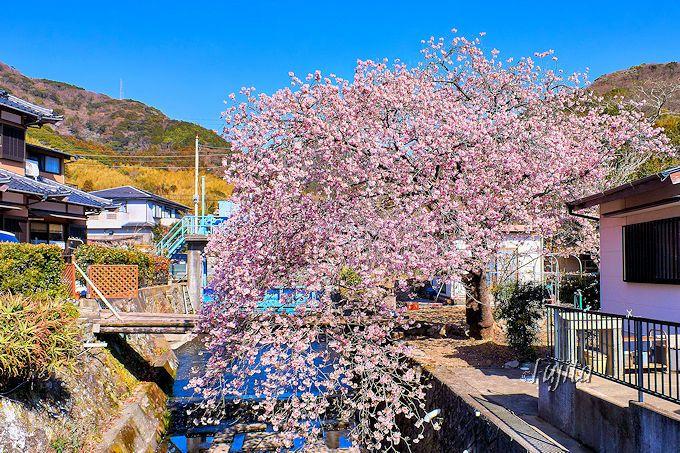 「くるまの桜」は「涅槃の桜」や「音蔵の桜」とセットで楽しめる!