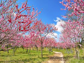 茨城「古河桃まつり」の絶景5選!日本一の花桃名所でお花見